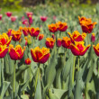 Colorful tulips in a garden — Stock Photo