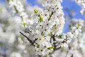 Spring Time - a cherry tree branch with flowers — Stock Photo