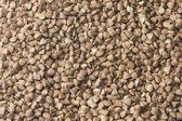 Buckwheat — Stock fotografie
