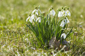 The first spring flowers - snowdrops enlightened sun — Stock Photo