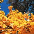 Постер, плакат: Light autumn sky through the leaves of maple