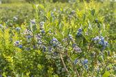 Blueberry Bush — Stock Photo