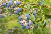 Bush of a blueberry closeup — Stock Photo