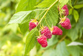 Raspberry on a branch — Stock Photo