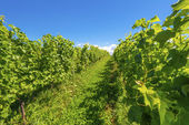 Beautiful rows of grapes — Stock Photo