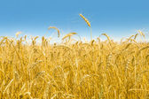 Wheat Field Close-up — Stock Photo