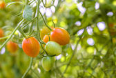 Closeup of growing grape tomatoes — Stock Photo