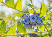 Blueberry Close-up — Stock Photo