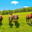 Cows on a summer pasture — Stock Photo #31051973