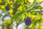 Plum on a branch — Stock Photo