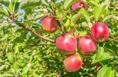 Apples on a tree branch — Stock Photo