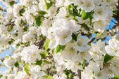 Closeup of the Pear Blossom in Spring — Stock Photo