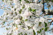 Pear blossom in spring — Stock Photo