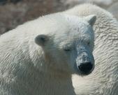 White bears — Stock Photo