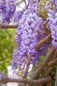 Purple wisteria — Photo