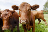 Close up of Cow — Stock Photo