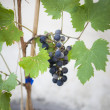 Grape Plant - Stock Photo