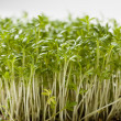 Cress — Stock Photo #24735003