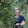 Picking apples — Stock Photo #24735159