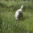 Dog following a trace — Stock Photo
