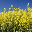 oilseed rape — Stock Photo