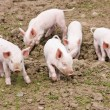 Piglets — Stock Photo