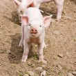 Stock Photo: Little Piglet