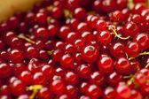 Röda vinbär — Stockfoto