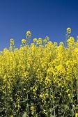 Oilseed rape — Stock Photo