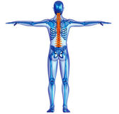 Human body skeleton and pain in the spine — Stock Photo