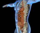 Human body with intestine and skeleton — Stock Photo
