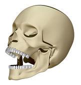 Human skull model — Stock Photo