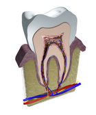 Tooth structure — Stock Photo