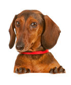 Veterinarian: Dacshund Looking Over White Card — Stock Photo