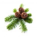 conos de pino en las ramas — Foto de Stock   #36833783
