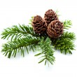 Pine cones on branches — Foto de Stock