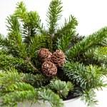 conos de pino en las ramas — Foto de Stock   #36833831