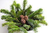 Pine cones on branches — 图库照片