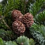 conos de pino en las ramas — Foto de Stock   #36844399