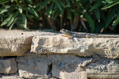 Lizard, Agama — Stockfoto