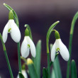 Snowdrops with a dark background — Stock Photo