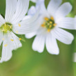 Stock Photo: Daisy on green background