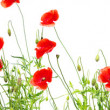 Stock Photo: Red poppies on white background