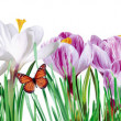 Stock Photo: Flowers and butterflies on white background