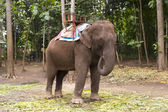 Asain elephant — Stock Photo