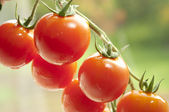 Tomaten — Stock Photo