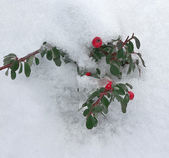 Evergreen plant under snow — Stock Photo