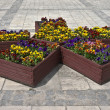 Stock Photo: Boxes with pansies on pavement