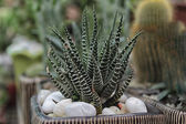 Green agave cactus — Stock Photo