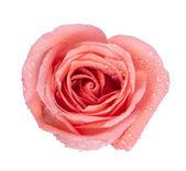 Obraz w tle róż — Zdjęcie stockowe
